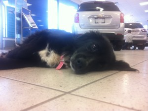 Fancy is our greeter in the Williams Chevrolet showroom.